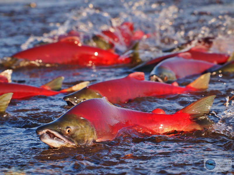 Alaska Salmon Migration