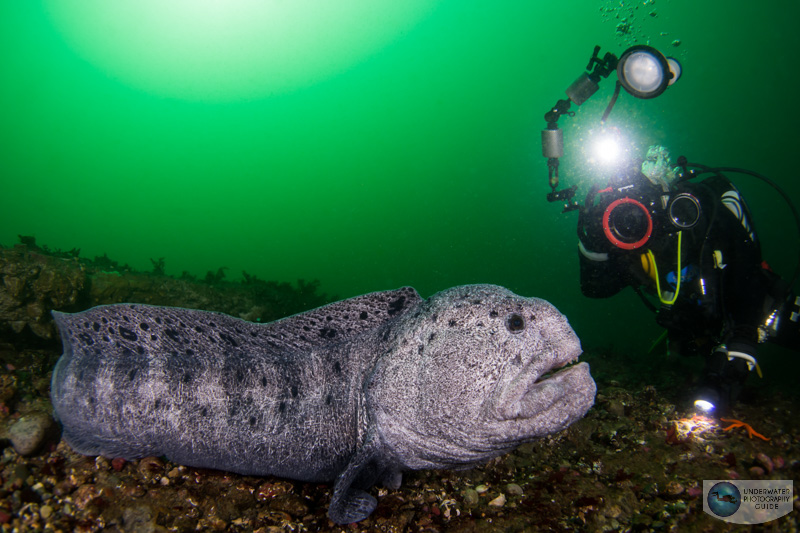 Friendly Wolf Eel Interacts with a Diver